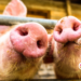 cepa porcina gripa verificado